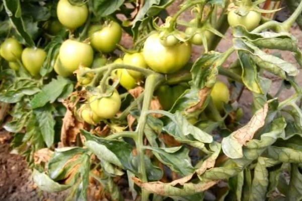 На фото: фитофтора на листьях томатов