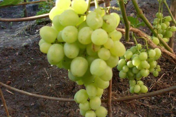 На фото: сорт винограда Супер Экстра