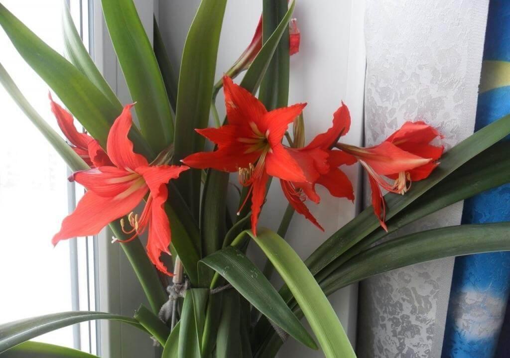 На фото: цветок комнатная лилия