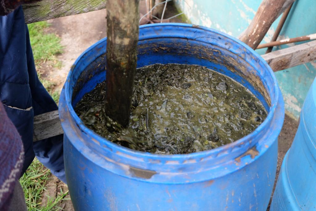 На фото: подкормка огурцов раствором коровяка