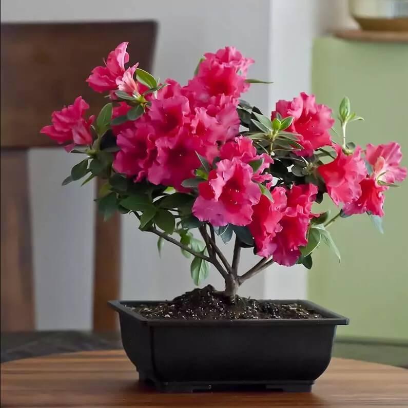 На фото: цветок Азалия