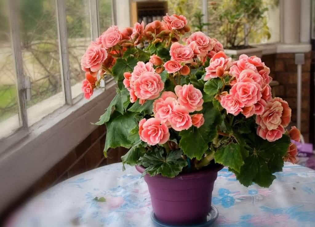 На фото: цветок Бегония