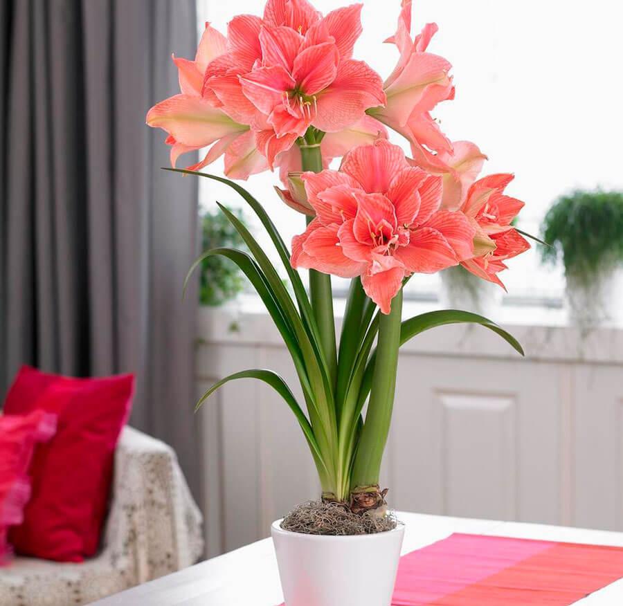 На фото: цветок Гиппеаструм