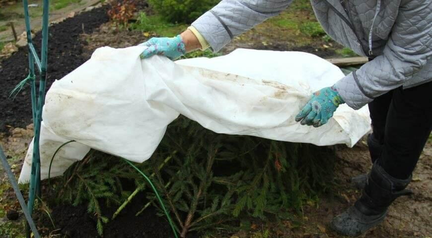 На фото: подготовка садовых роз к зиме