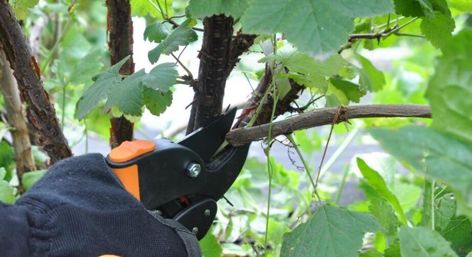 На фото: обрезка смородины после сбора урожая
