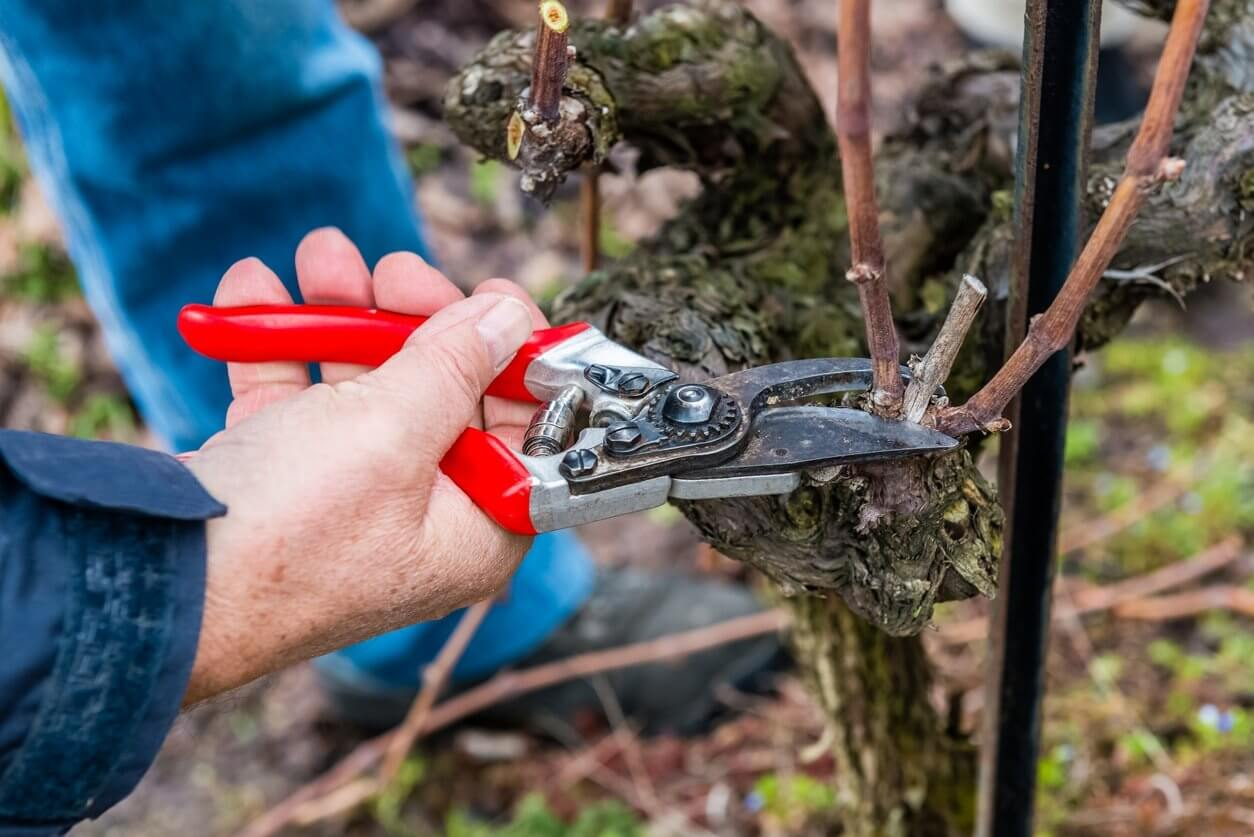 На фото: обрезка винограда осенью
