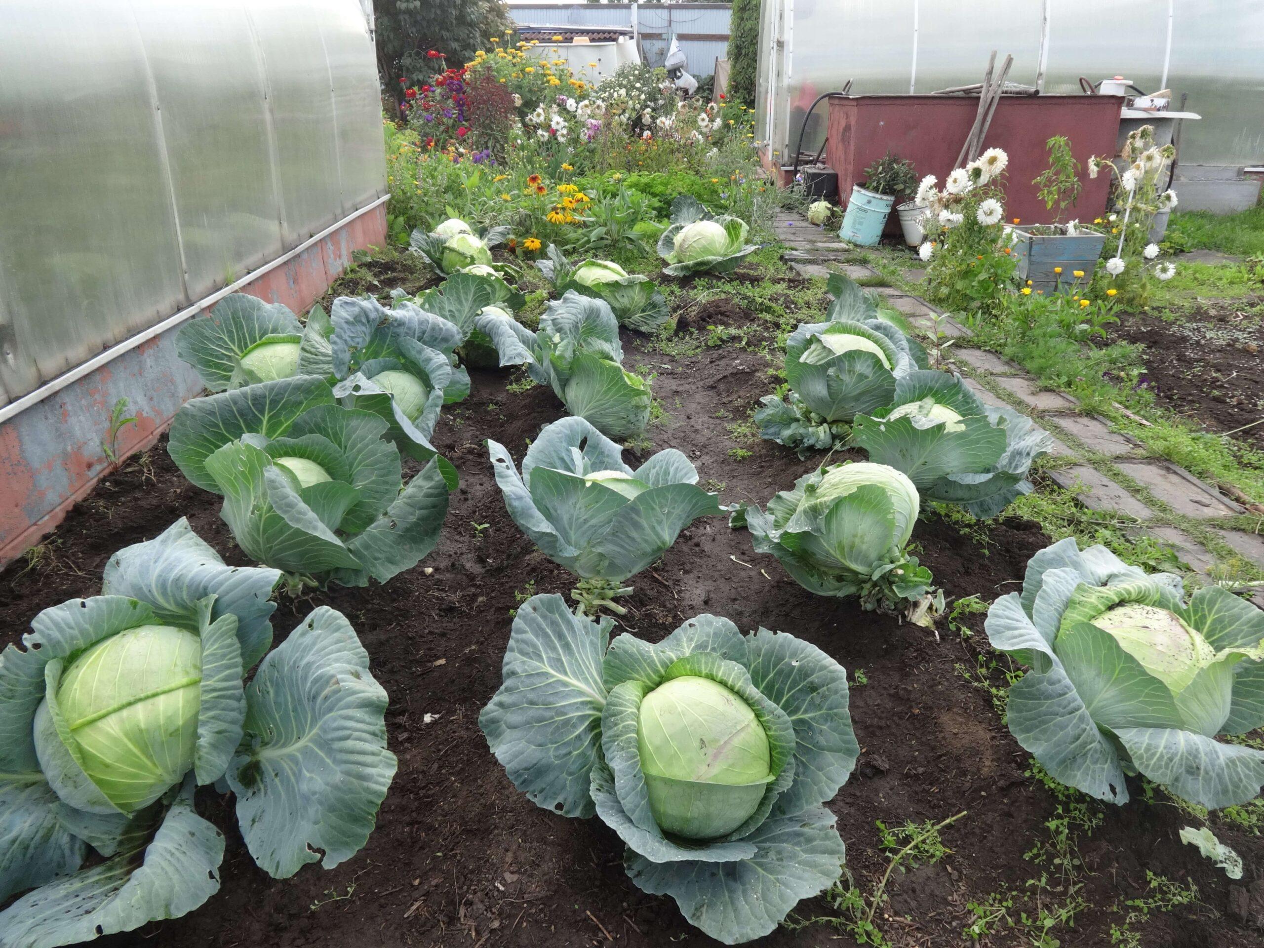 На фото: урожай капусты