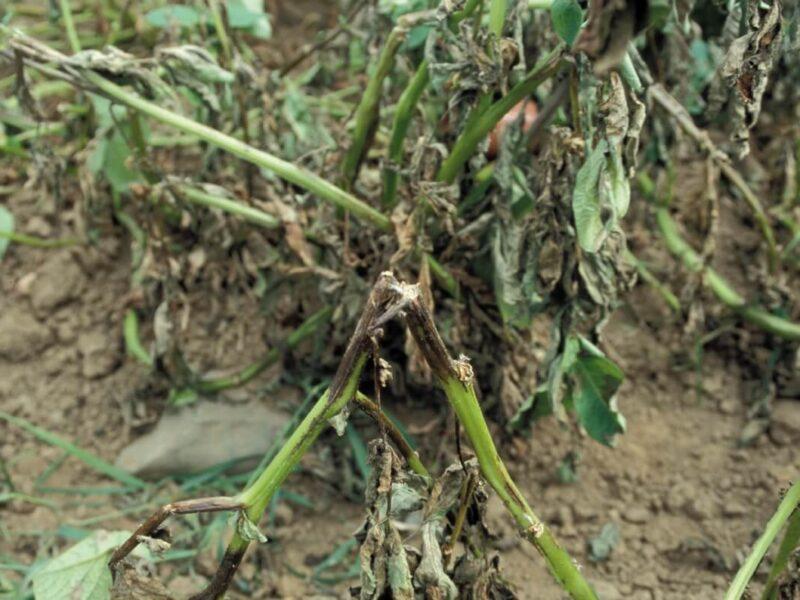 На фото: засохшая ботва картофеля
